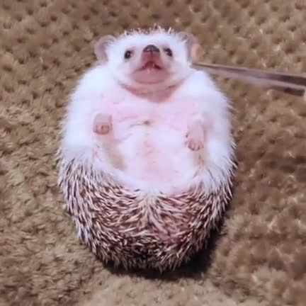 Watch and share A Hedgehog Being Fed GIFs on Gfycat