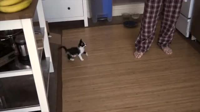Watch al ataqueee!! GIF on Gfycat. Discover more cats, funny, kodi, shorty GIFs on Gfycat
