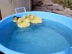 Watch and share Duckling GIFs on Gfycat
