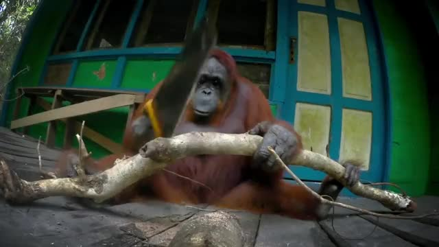 Watch Robot Orangutan Vs Wild Orangutan Sawing Duel GIF by The Livery of GIFs (@thegifery) on Gfycat. Discover more Saw, bbc, competition, funny, intelligence, monkey, orangutan, orangutans, sawing, siswi, smart GIFs on Gfycat