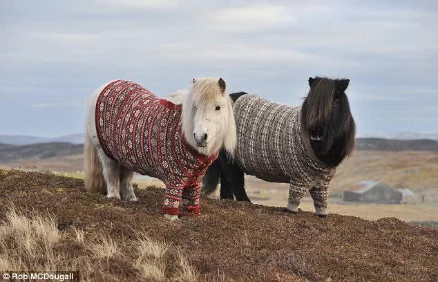Watch Shetland ponies wearing Fair Isle jumpers on Fair Isle, Shetland GIF on Gfycat. Discover more related GIFs on Gfycat