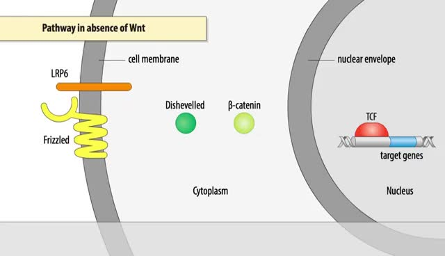 Watch and share The Wnt/β-catenin Signaling Pathway GIFs on Gfycat