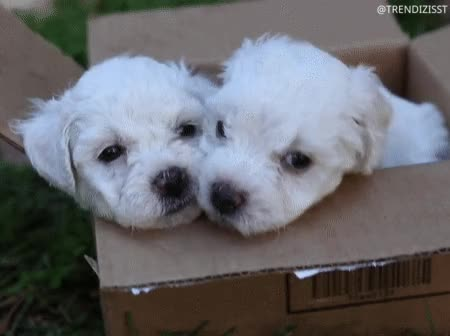 Watch and share Bichon Frise GIFs and Trendizisst GIFs by Trendizisst on Gfycat