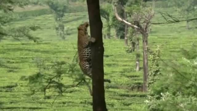Watch and share Leopard Leaps From One Tree To Another GIFs by Mahmoud M. Mahdali on Gfycat