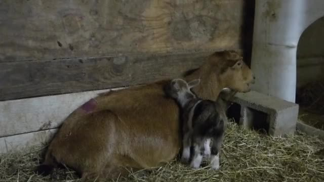Watch and share Goat GIFs by KNS Farm on Gfycat