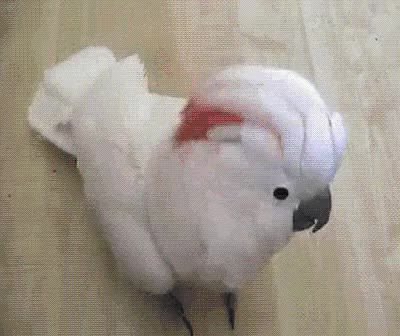 Watch cockatoo GIF on Gfycat. Discover more adorable, animales, animals, aves, birds, cute, divertido, funny, loros, parrots GIFs on Gfycat