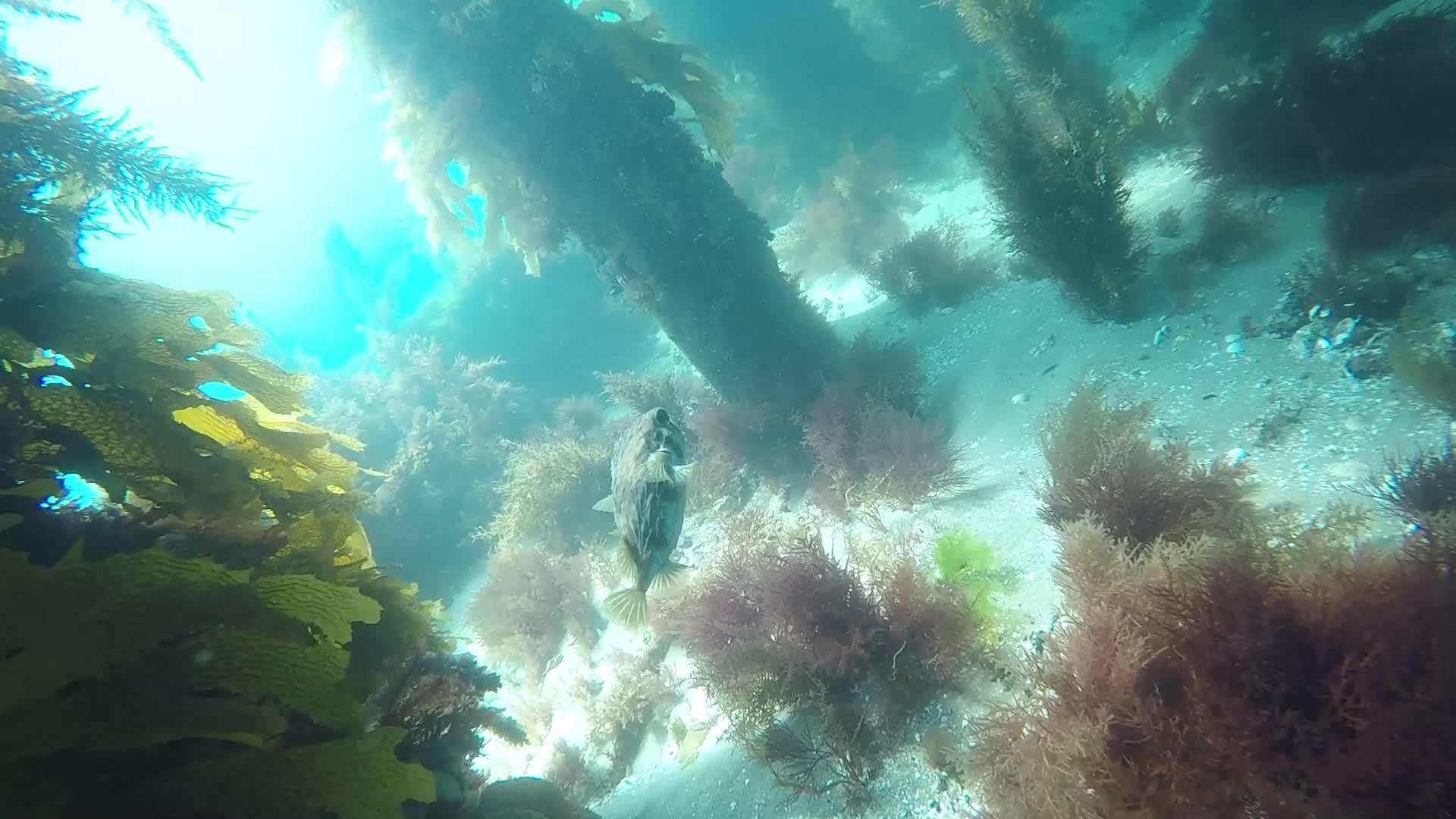 scuba, porcupine fish GIFs