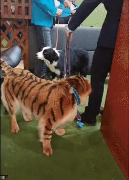 Watch and share Tiger GIFs and Dogs GIFs on Gfycat