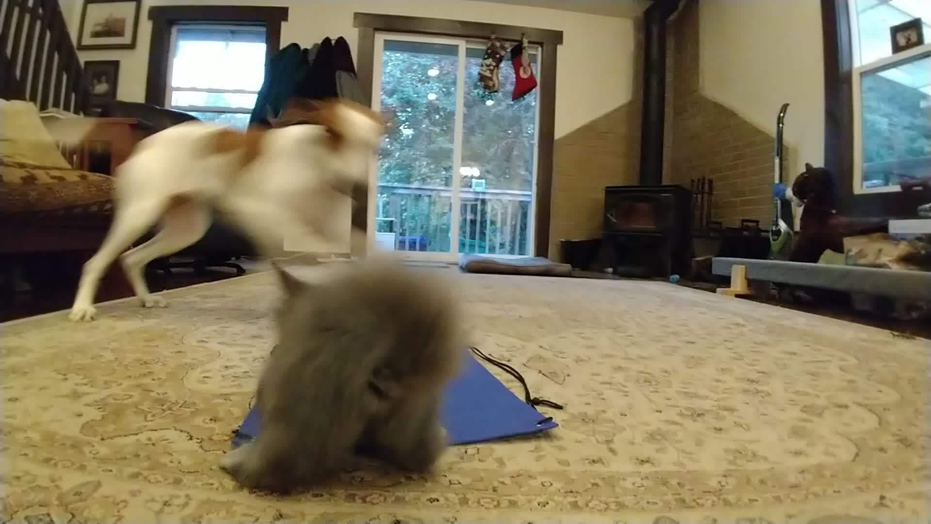 cat, dog, hitanimals, hitcat, kitten, play, Tag, you're it! GIFs