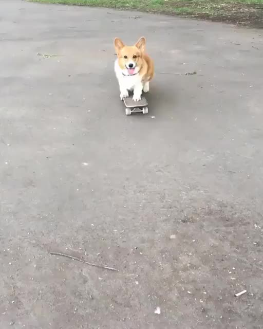 Watch Skater corgi GIF by Nomorefoxgiven (@nomorefoxgiven) on Gfycat. Discover more dog GIFs on Gfycat