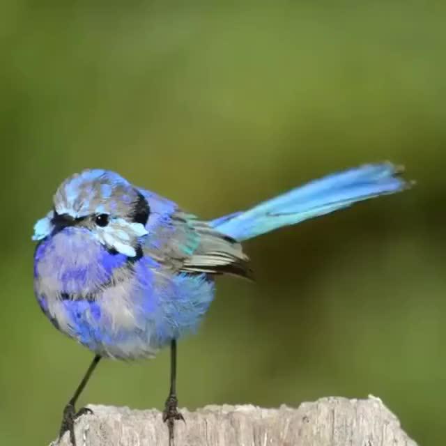 Watch and share Bright Blue Male Splendid Fairywrens (Malurus Splendens) GIFs by likkaon on Gfycat