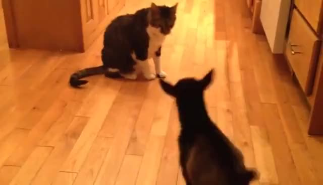 Watch Baby Goat Tries to Headbutt Cat GIF on Gfycat. Discover more related GIFs on Gfycat