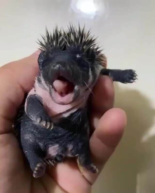 Watch and share Baby Hedgehog Yawning GIFs by Boojibs on Gfycat