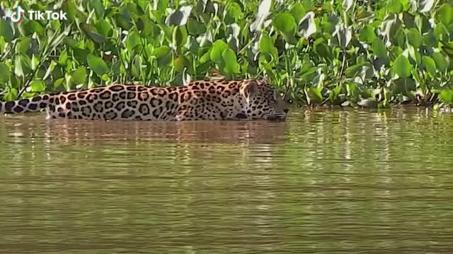 Watch and share Cheetahs Prey On Crocodiles GIFs by TikTok on Gfycat