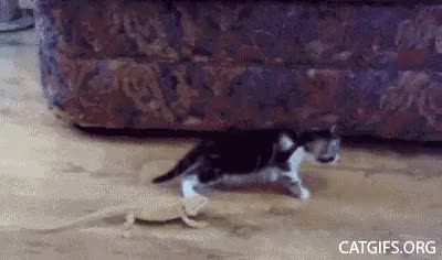 Watch cat Lizards GIF on Gfycat. Discover more related GIFs on Gfycat