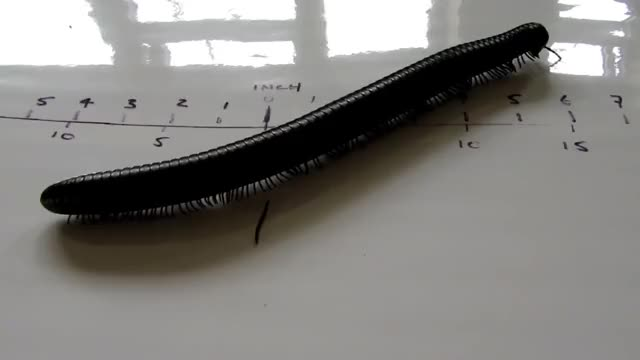 Watch and share Myriapoda GIFs by Z on Gfycat