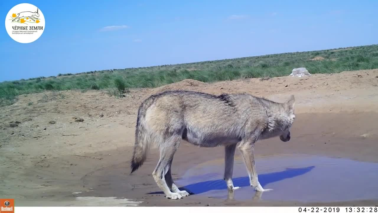 Wolves and Saiga seen in the same location GIFs