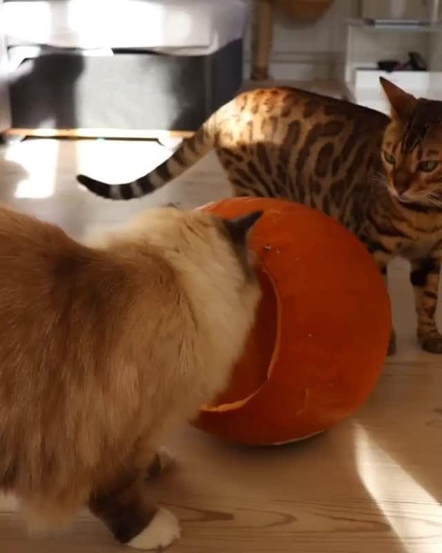 Become the pumpkin GIFs