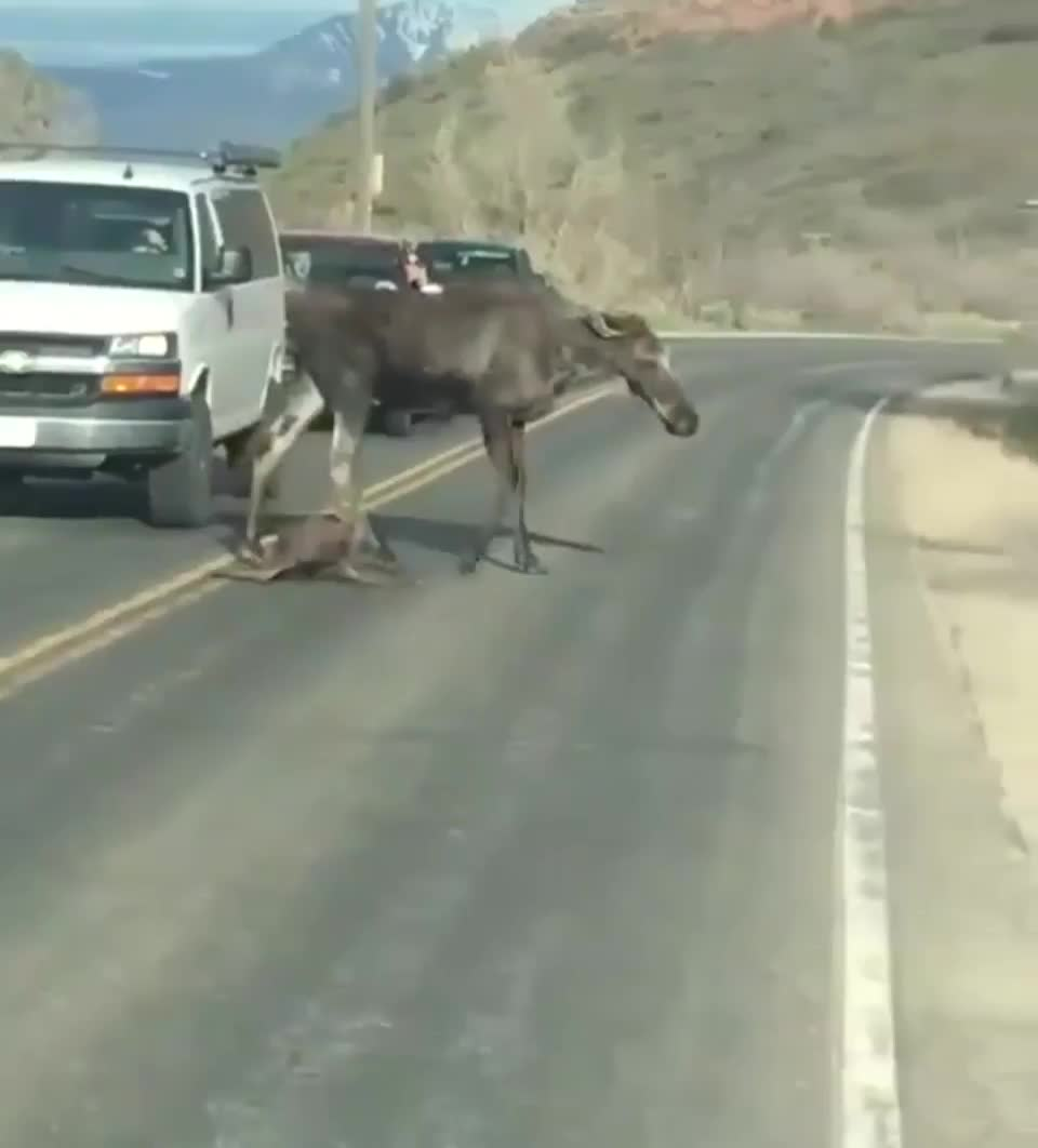 nature, An hours-old moose calf crossing a road with the help of their mom GIFs