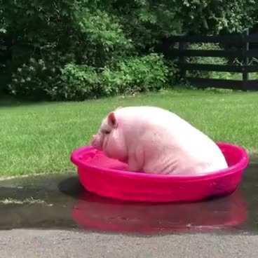 Watch The pig GIF on Gfycat. Discover more Viral, pig, play, playing, pool, storyful, summer, swim, water GIFs on Gfycat