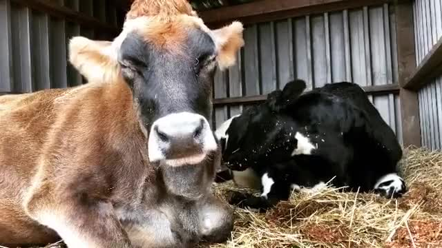 Watch and share Happycows GIFs by b12ftw on Gfycat