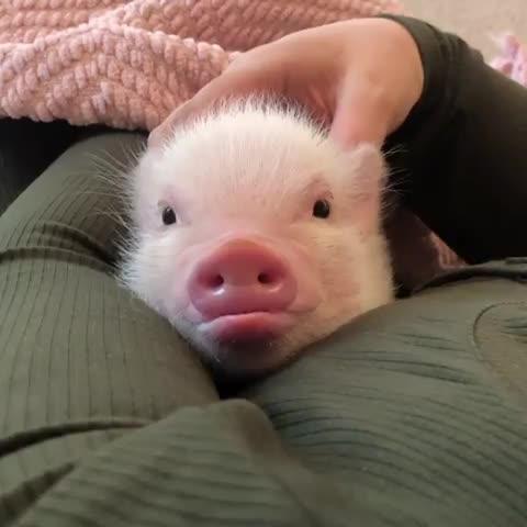 millie and piper, minipig, minipigsofinstagram, oinkoinkminipigs, pig, pigs, pigsofinstagram, smartpig, Saturday snuggles ♥️🐽♥️ GIFs
