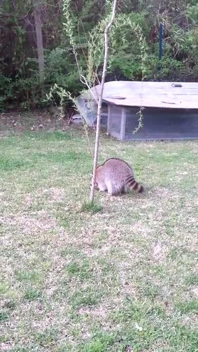 hitmanimals, Crazy Raccoon chasing cats (reddit) GIFs