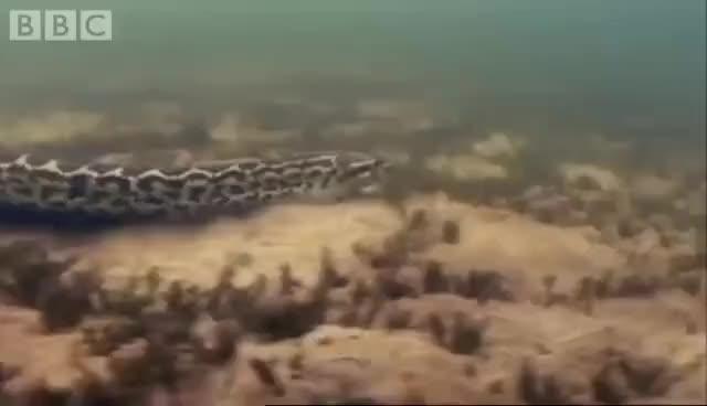 Watch and share Attenborough - Anaconda Gives Birth Underwater - BBC Wildlife GIFs on Gfycat