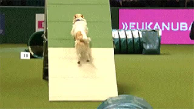 Watch This Jack Russell's adorably bad show run will make you fall in love with dogs all over again - Sport News & Results GIF on Gfycat. Discover more related GIFs on Gfycat