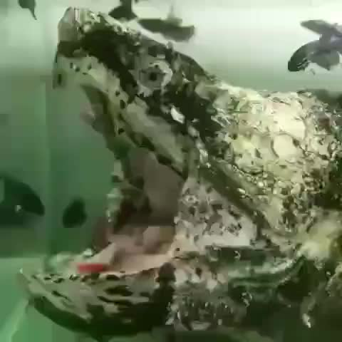 Watch As This Huge Snapper Wiggles Its Tongue As If To Make The Appearance  Of A Worm 😶 Credit Unknown Please DM Us 🔔 Turn On My Po