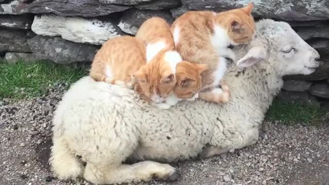 Watch and share Sheep GIFs and Cats GIFs by Ancalagon on Gfycat