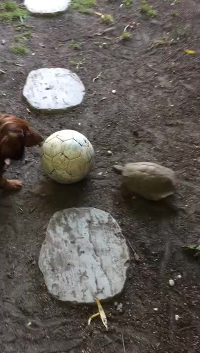 Watch and share Dachshund And Turtle Playing Soccer GIFs by PrviAxiom on Gfycat