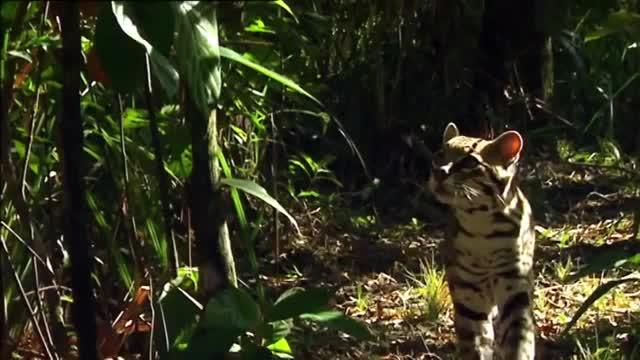 Watch and share Ocelot Captures An Iguana GIFs by likkaon on Gfycat