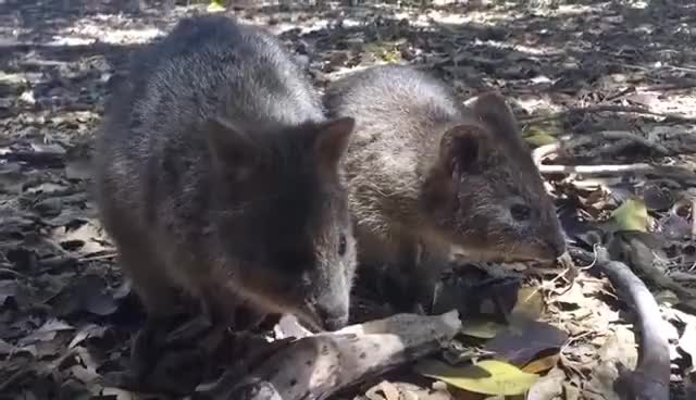 Watch and share Quokka Mum And Baby GIFs on Gfycat