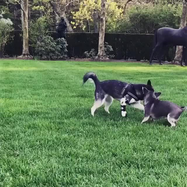 Watch Chihuahua Training Camp💪🏻 GIF by pmmesteamk3ys on Gfycat. Discover more akk, alaskankleekai, chi, chihuahua, henrymatilda, husky, kleekai, minihusky, pom, pomeranian GIFs on Gfycat