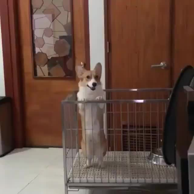 Watch and share Corgi GIFs by Nomorefoxgiven on Gfycat