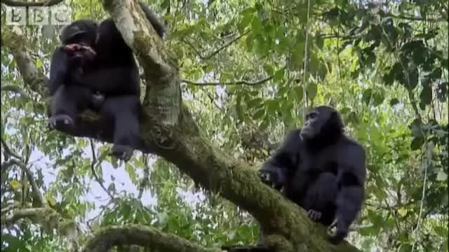 Watch Chimps in a tree share a meal (reddit) GIF on Gfycat. Discover more animalsbeingbros GIFs on Gfycat