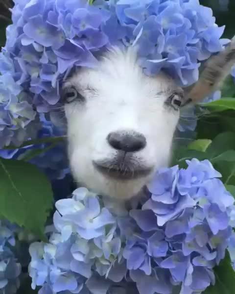 aww, goat, funny, Fashion goat GIFs
