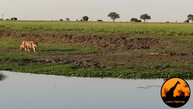 Watch and share Lion Catches A Crocodile GIFs by Pardusco on Gfycat