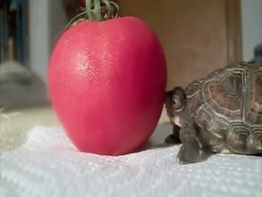 post Baby Turtle vs Tomato GIFs