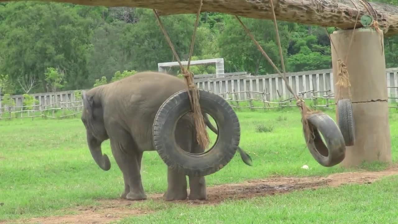 Tiresaretheenemy, babyelephantgifs, elephant nature park, Baby Elephant : Revenge Of The Tire GIFs