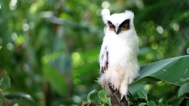 Watch Crested Owl GIF by @likkaon on Gfycat. Discover more crestedowl, cristata, lophostrix GIFs on Gfycat