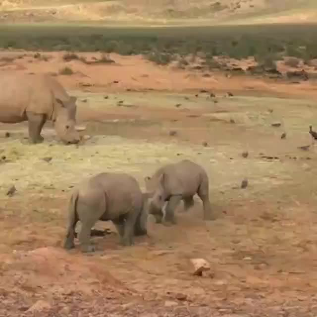 nature, Baby rhinos practicing their sparring skills GIFs