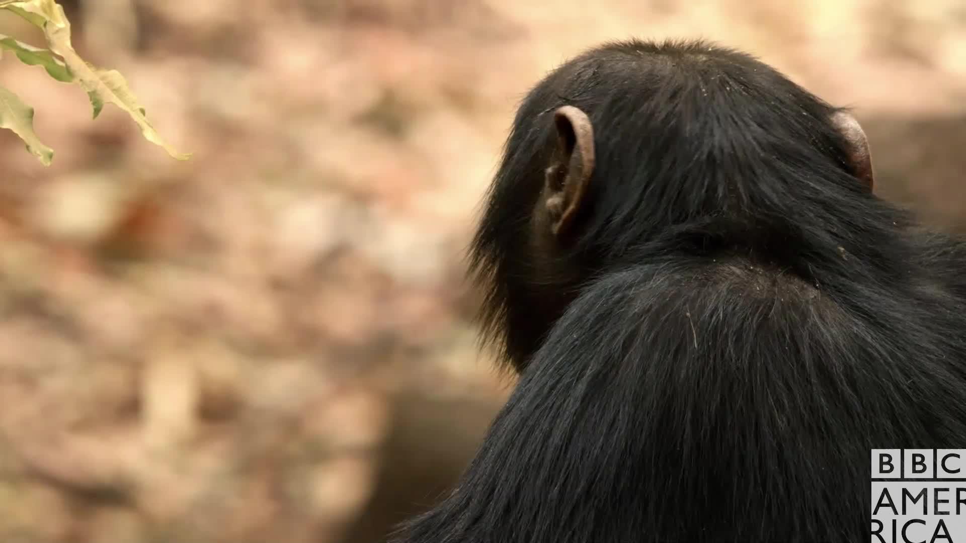 animal, animals, bbc america, bbc america dynasties, bbc america: dynasties, chimp, chimpanzee, chimpanzees, chimps, dynasties, Dynasties Chimp Smile GIFs