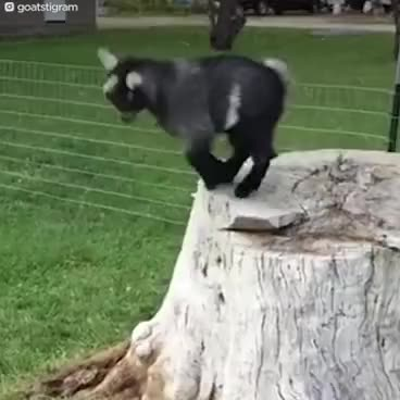Watch and share PARKOUR GOATS | The Dodo GIFs on Gfycat