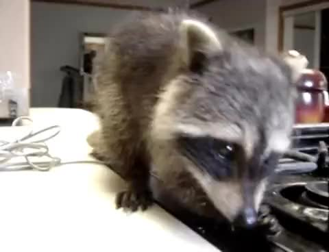Watch this racoon GIF on Gfycat. Discover more animal, animals, raccoon, racoon GIFs on Gfycat