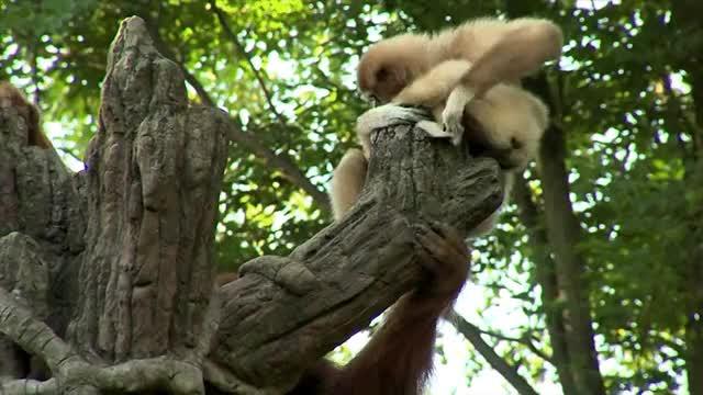 Watch Gibbon and Orangutan GIF by @harris5 on Gfycat. Discover more NatureGifs, aww GIFs on Gfycat