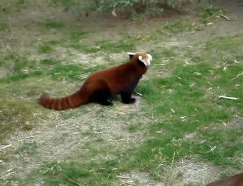 cute, funny, mating, memphis, panda, red, red panda, zoo, Red Panda Booty shake GIFs