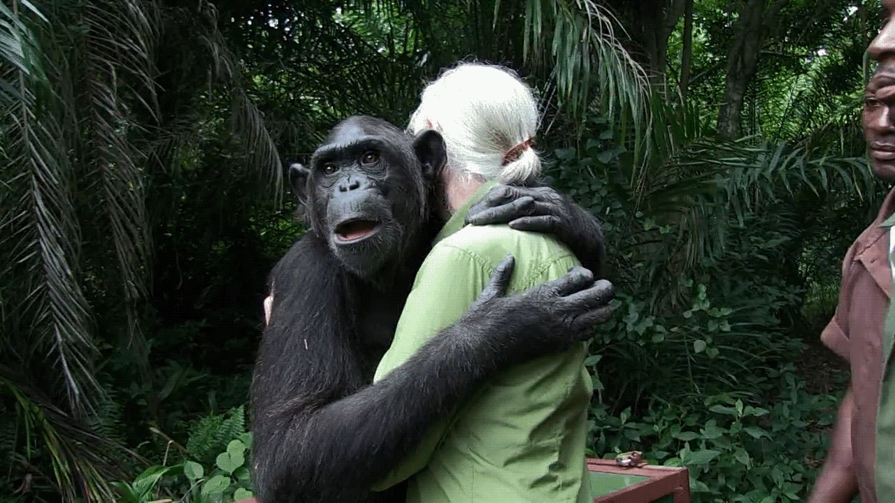 hug, monkeypics, randomactsofgaming, Chimp Hugging Jane Goodall #2 GIFs