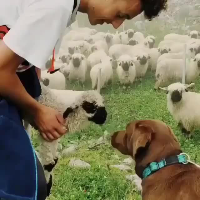 Watch this sheep GIF by vani  (@uncommonvanilla) on Gfycat. Discover more animal, animals, cute, dog, dogs, dogsitting, eyes, ilovemydog, instagood, instagramdogs, lamb, nature, pet, pets, petsagram, petstagram, photooftheday, pup, puppy, sheep GIFs on Gfycat